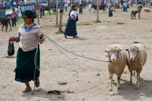 Sheep walkies, Otavalo