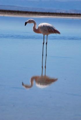 Flamingo, Laguna Chaxa, Chile