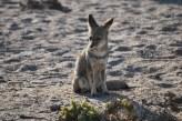 Desert fox, Chile.