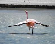 Flamingo flutter, Bolivia