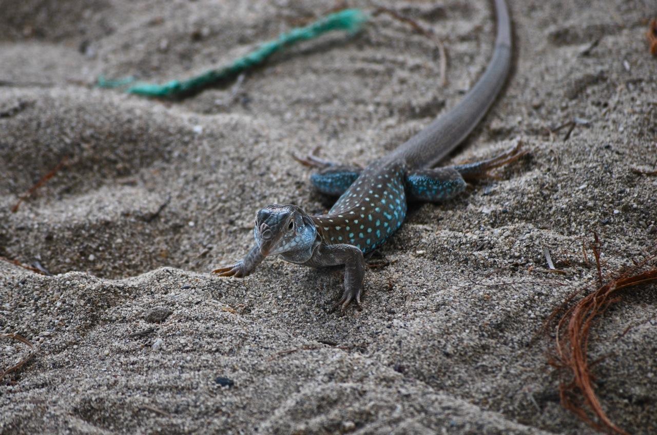 Spotted Lizard Zorritos Peru