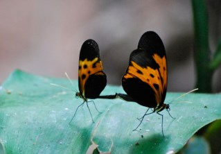 Mating butterflies, Bolivia