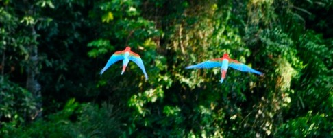 Flying macaws, Bolivian jungle