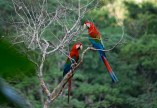 Macaws, Bolivian jungle