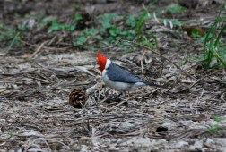 Red-crested cardinal, Uruguay