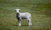 Patagonian lamb.