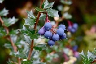 Berries, Chiloé