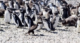 Cormorant-penguin stand off