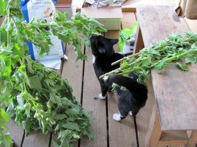 The kitties need a full pantry of dried nip for winter.