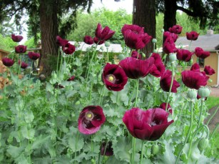 These deep purple poppies are naturalizing near the garden.
