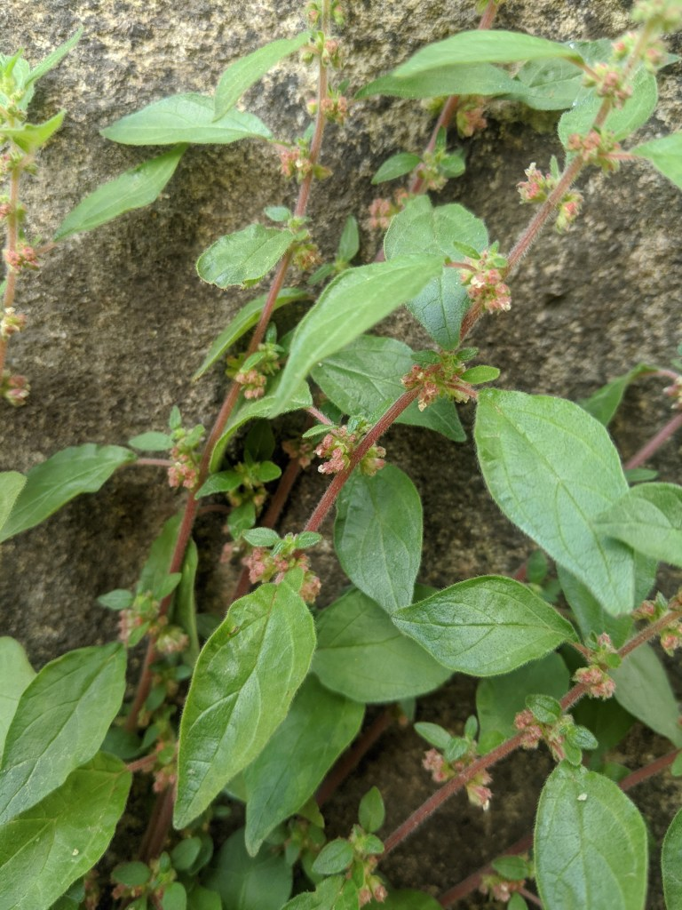 Pellitory of the wall - Parietaria judaica