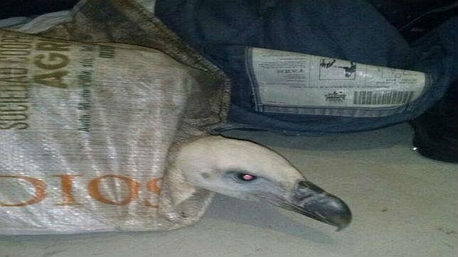 Un buitre desorientado se posa varias horas en Olvera