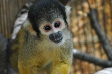 primate_en_amate