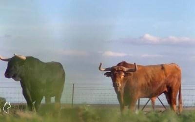 La ganadería de Campos Peña, protagonista de un nuevo RAZA