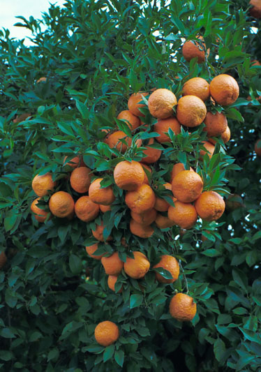 Ave-Maria-Seville-Orange-branches-fruits