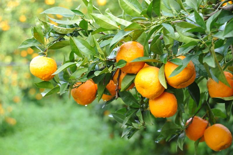 Lieblings History of bitter orange - Seville Oranges &VT_16