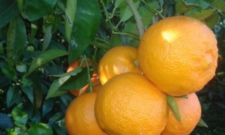 Breaking News: Our Ave Maria Seville Oranges in Waitrose!