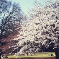 A tradição do Hanami e locais para ver as flores de cerejeira no Japão