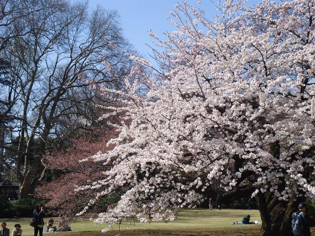 viajar para o japão e ver as Cerejeiras em Tóquio