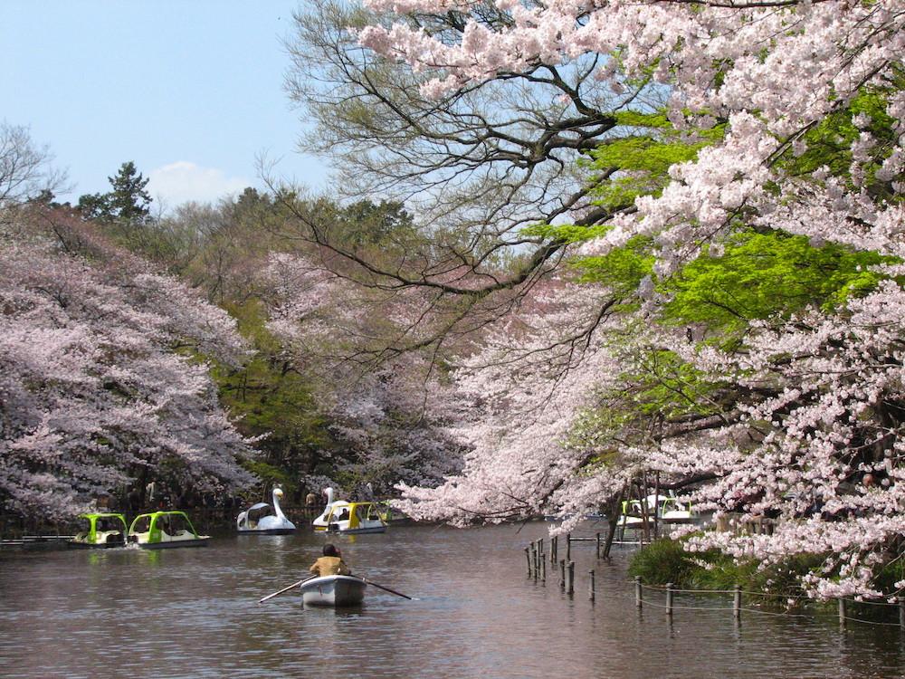 flores de cerejeira no Japão Inokashira Park