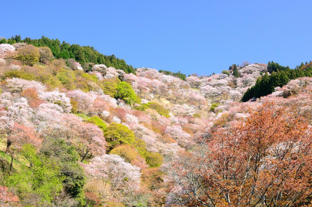 flores de cerejeira no Monte Yoshino (Yoshinoyama) - Nara