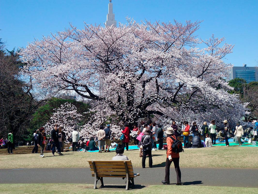 Shinjuku Gyoen park na primavera para flores de cerejeira no Japão