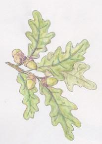 leafy-oak-twig
