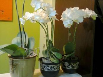 Anggrek Bulan   Phalaenopsis amabilis   Exclusive Plant