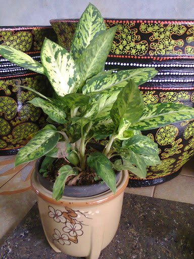 Table Plant   Aglonema Chiang Mai
