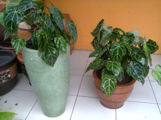 Rental Tanaman Hias Anthurium Kuping Gajah | Exclusive Plant