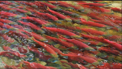 I live near Adam's Lake Sockeye Salmon Run. One of the largest going