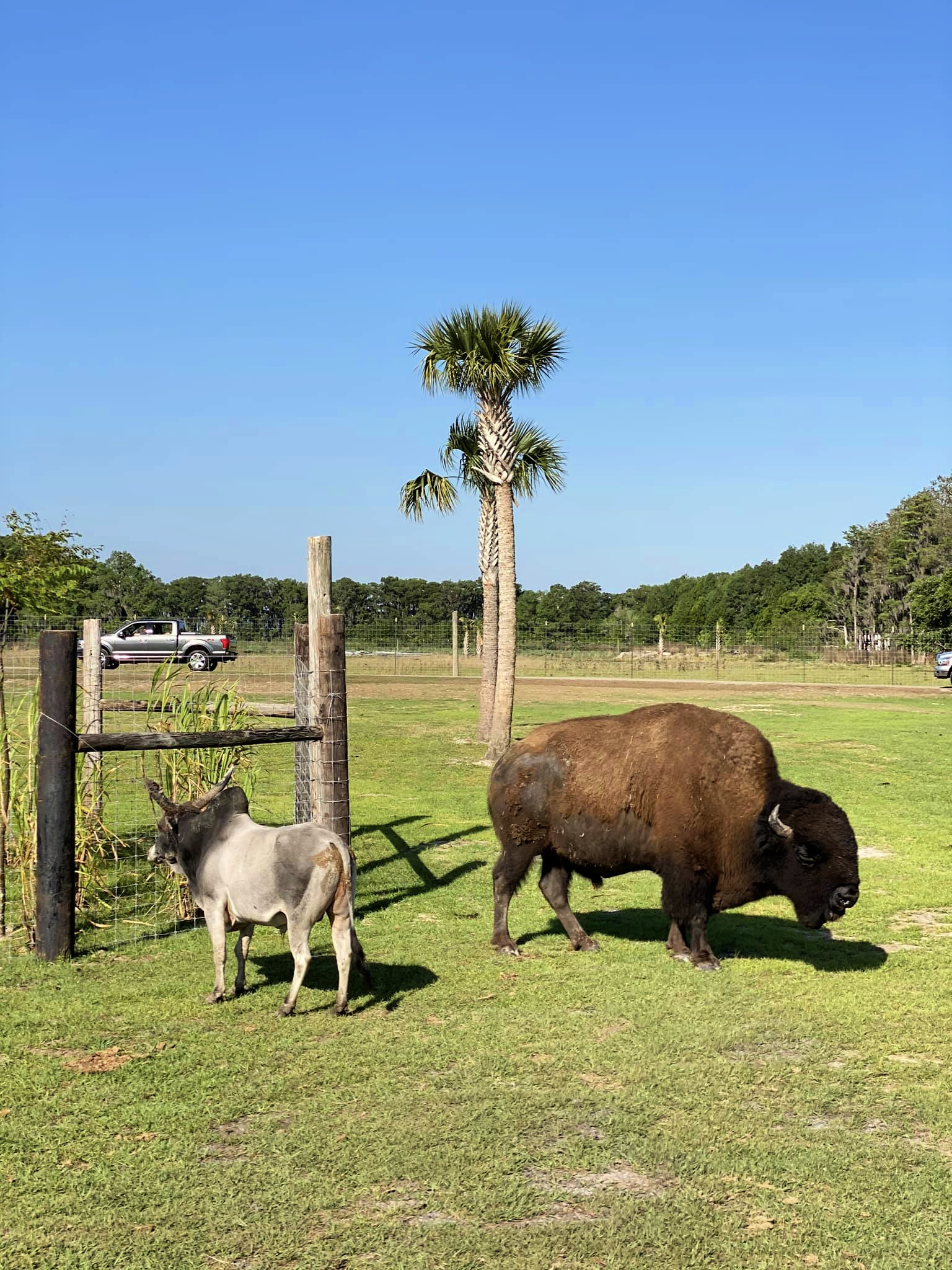Bison at Wild Florida Drive-Thru Safari Park