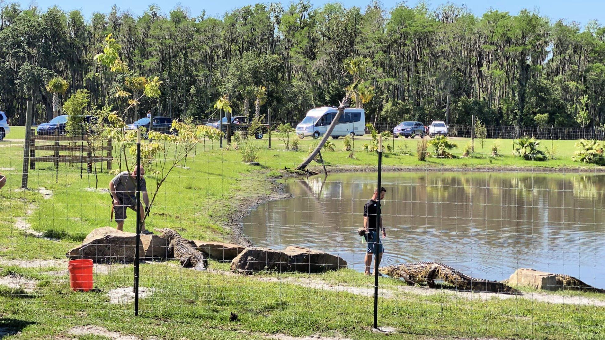feeding crocodiles at Wild Florida Drive-Thru Safari Park
