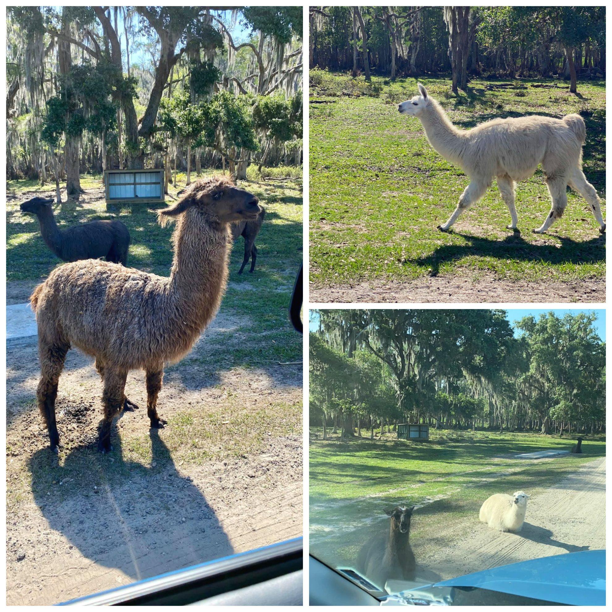 llamas roam free at Wild Florida Drive-Thru Safari Park