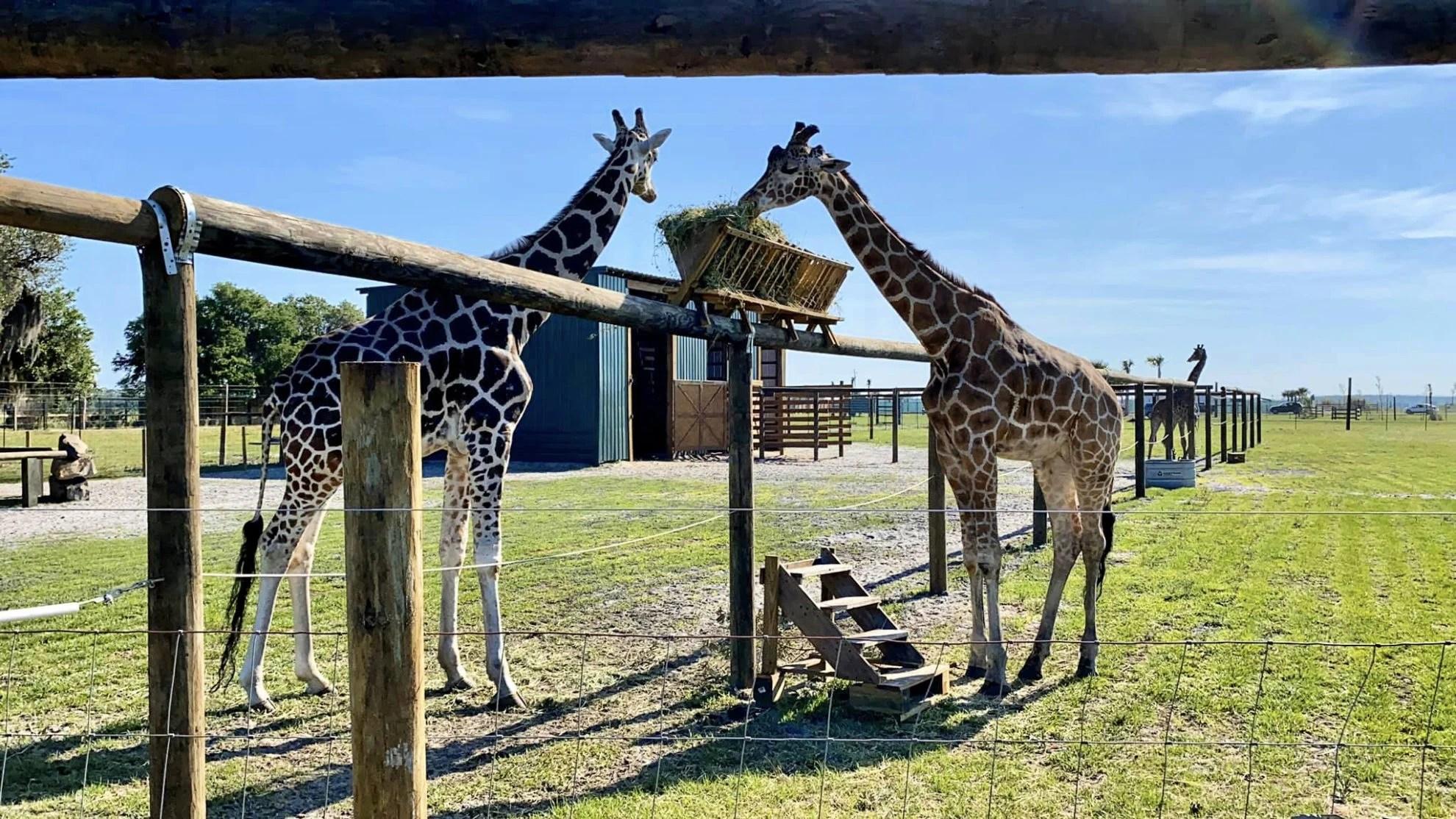 Reticulated Giraffe eating at Wild Florida Drive-Thru Safari Park
