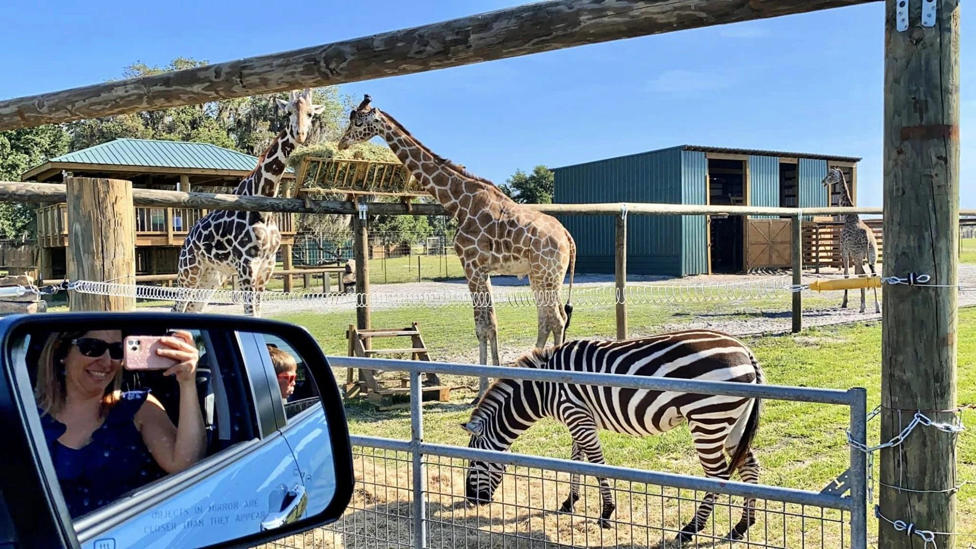 Zebras and Giraffes at Wild Florida Drive-Thru Safari Park