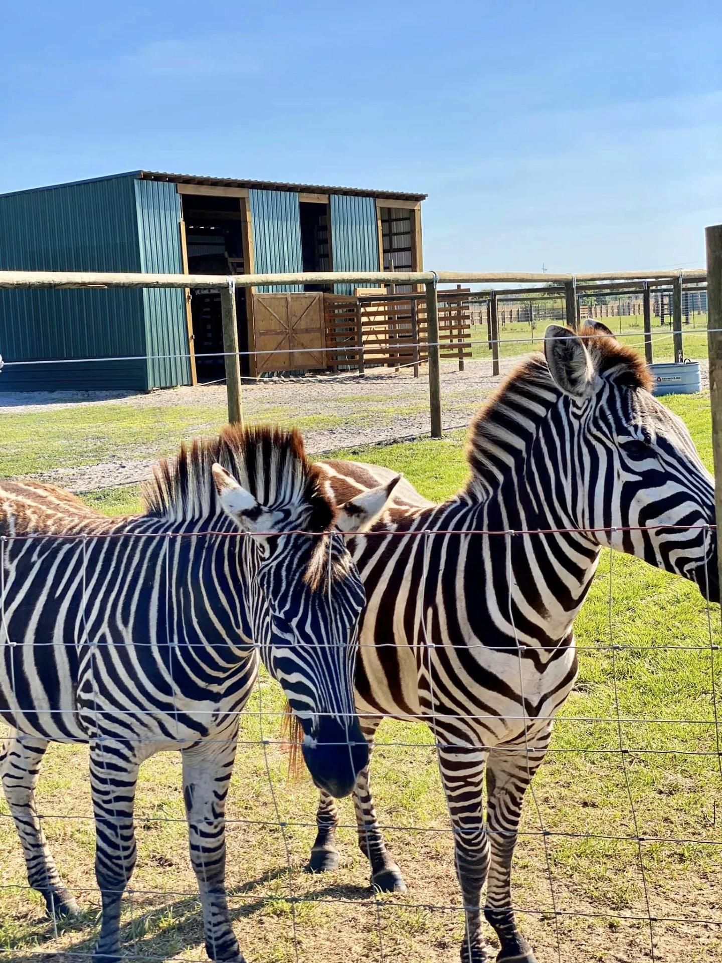 Zebra behind a fence at Wild Florida Drive-Thru Safari Park