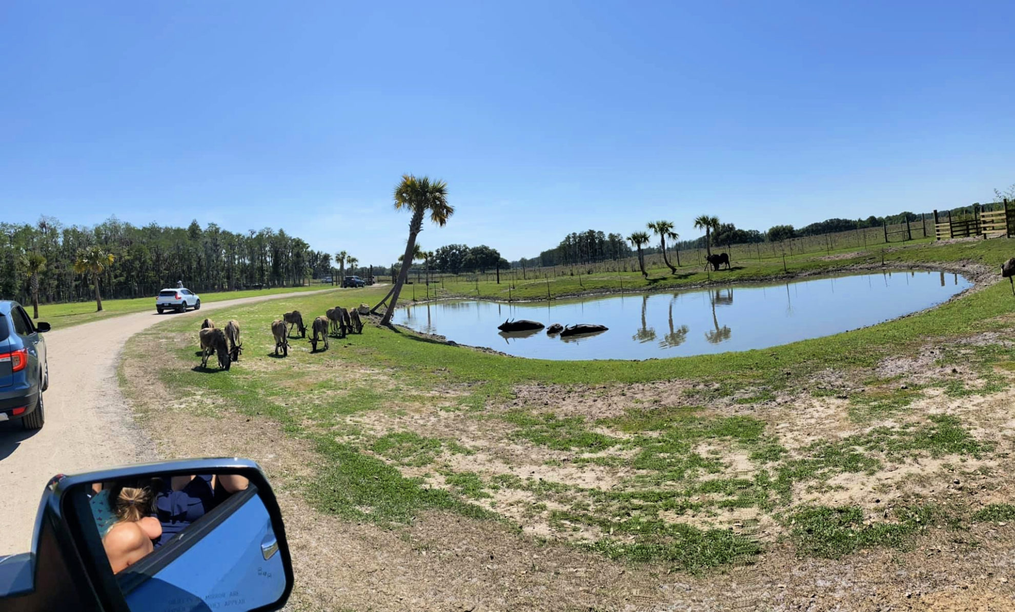 Water Buffalo in the water at Wild Florida Drive-Thru Safari Park