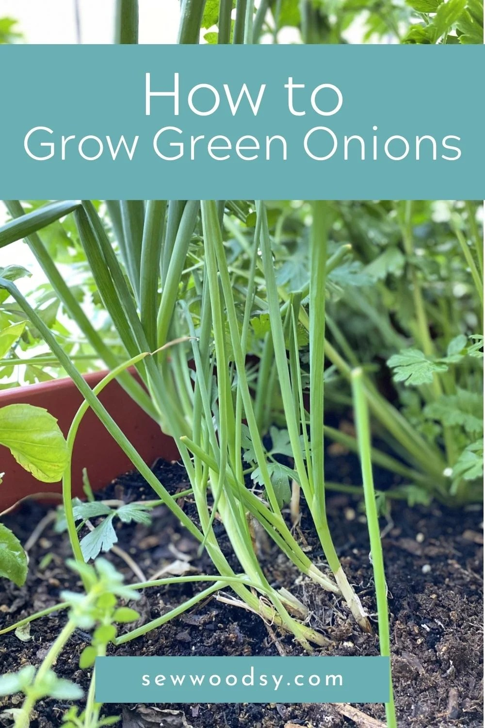 A bundle of green onions growing in dirt in a garden with text on image for Pinterest.