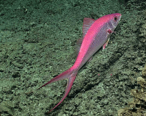 February 17 A deepwater longtail red snapper observed off Ta'u island, within National Marine Sanctuary of American Samoa. (HR)