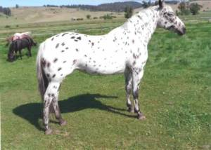 foundation_appaloosa_mare_roxies_spotted_rose