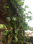 Passion fruit. You know, just growin by the pool at the VERANDA ! OH YEAH