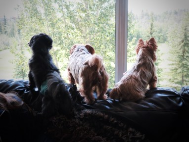 The two yorkies are my relatives with our Kona on the left. Just thought it was a cute photo.