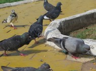 Pigeons at the royal palace