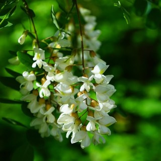 beneficiile-florilor-de-salcam