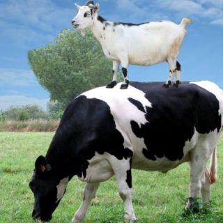 lapte-de-capra-sau-lapte-de-vaca