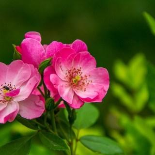 Uleiul-de-trandafir-salbatic-Puterile-regeneratoare-ale-macesului-pentru-ten