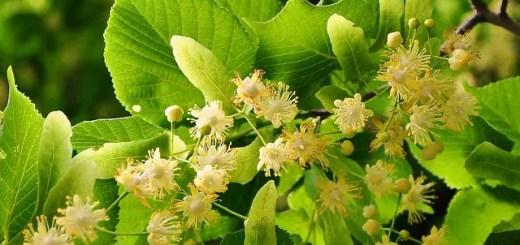 beneficiile-florilor-de-tei
