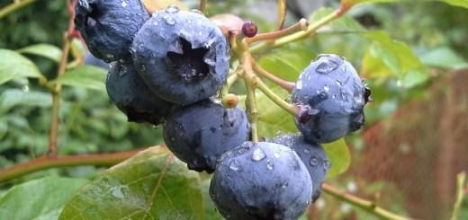 """Afinul, cea mai buna """"insulina vegetala"""". Planta care trateaza diareea si diabetul"""