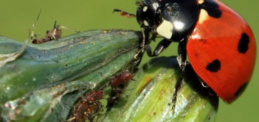 insecte-utile